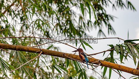 white throated kingfisher halcyon smyrnensis