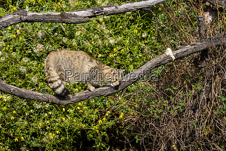 the european wildcat in the forest