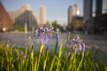 close up of iris flowers with