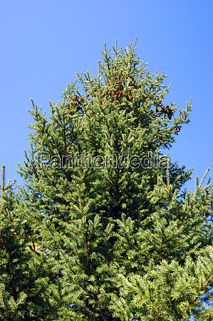 evergreen tree spruce with fruit type