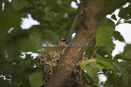 cedar waxwing bombycilla cedrorum in its