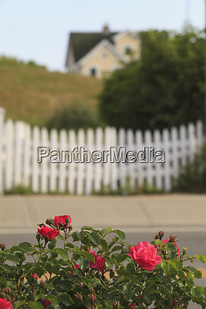 red roses with white picket fence