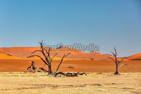 dry acacia tree in dead in