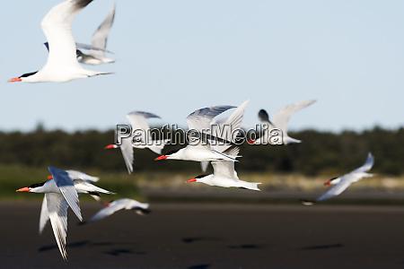 caspian terns hydroprogne caspia fly over