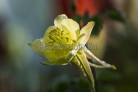 dew adds sparkle to a columbine