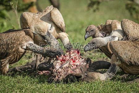 close up of white backed vultures