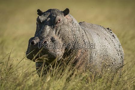hippo hippopotamus amphibius stands in long
