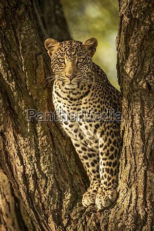 a leopard panthera pardus sits in