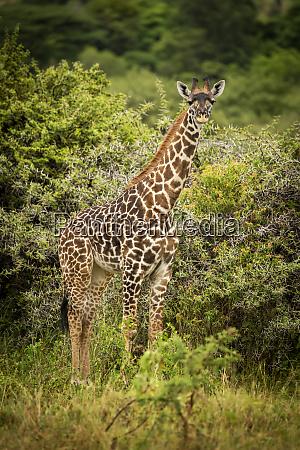 baby masai giraffe giraffa camelopardalis tippelskirchii
