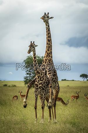 male masai giraffe giraffa camelopardalis tippelskirchii
