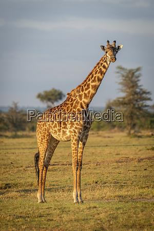 masai giraffe giraffa camelopardalis tippelskirchii stands