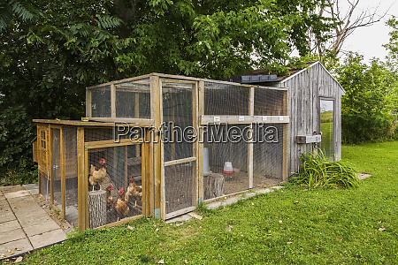 chicken coop with brown hens in