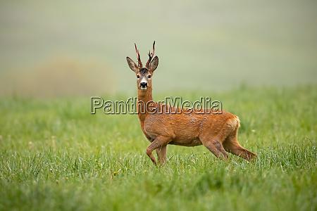 roe deer capreolus capreolus buck watching