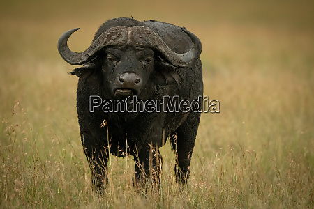 cape buffalo stands facing camera while