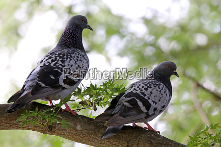two city pigeons on a park