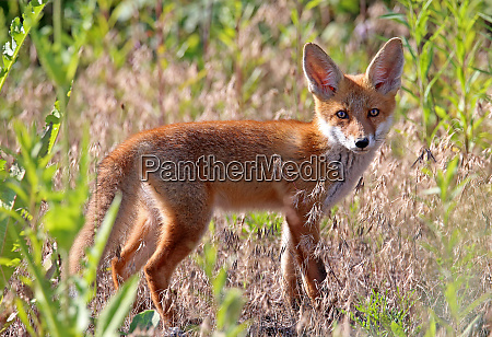 encounter with a red fox vulpes