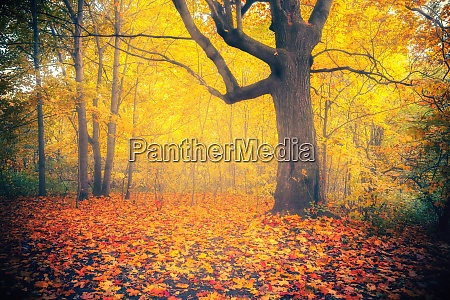 vibrant foliage in foggy autumn forest