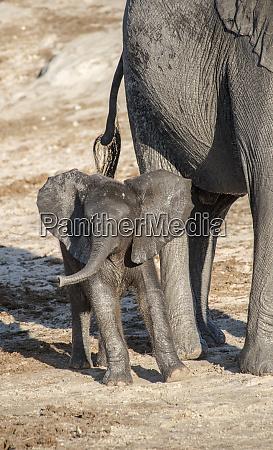 africa botswana chobe national park juvenile