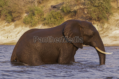 elephant loxodonta africana emerges from swimming
