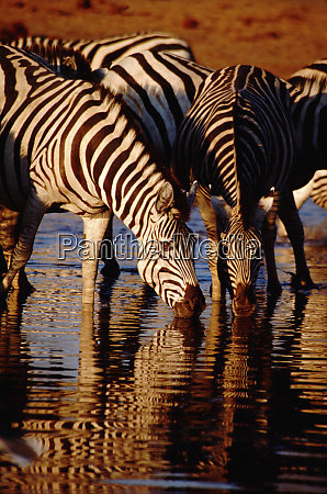 africa botswana chobe national park linyanti