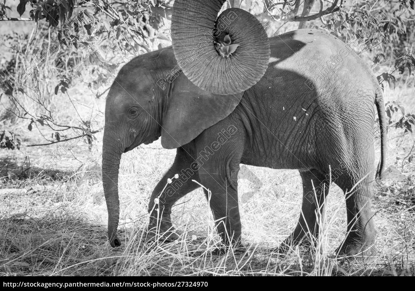 africa, , botswana, , chobe, national, park., black - 27324970