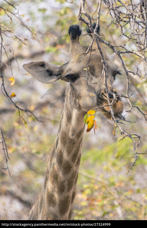 botswana., chobe, national, park., giraffe, (giraffa - 27324999