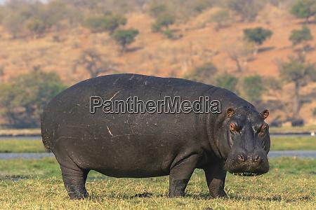 botswana chobe national park hippo hippopotamus