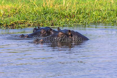 botswana okavango delta khwai concession hippo