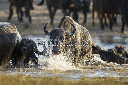 africa botswana chobe national park herd