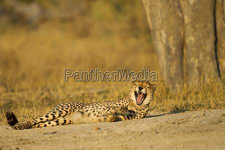 africa botswana moremi game reserve cheetah