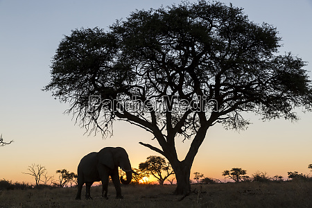 africa botswana chobe national park african