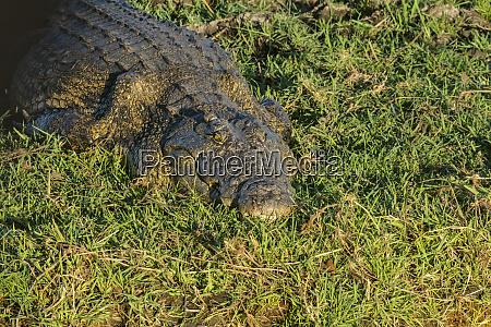 crocodile chobe national park north west
