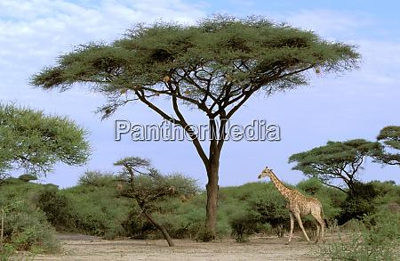 africa botswana okavango delta southern giraffe