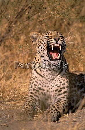 africa botswana okavango delta panther panthera