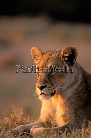 africa botswana okavango delta lioness panthera