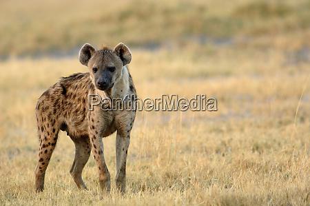 spotted hyena crocuta crocuta mombo area