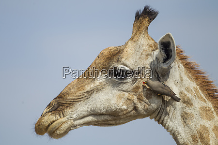 africa botswana moremi game reserve giraffe