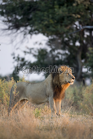 africa botswana moremi game reserve adult