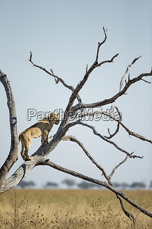 africa botswana chobe national park lionesspanthera