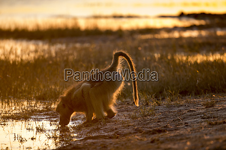 africa botswana chobe national park chacma