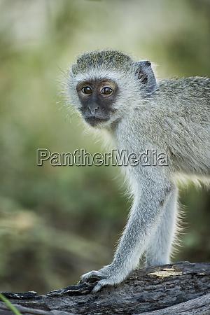 africa botswana moremi game reserve vervet