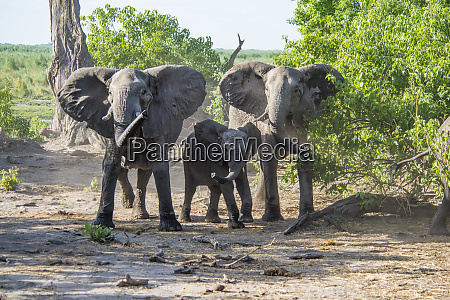 elephant family in protective mode