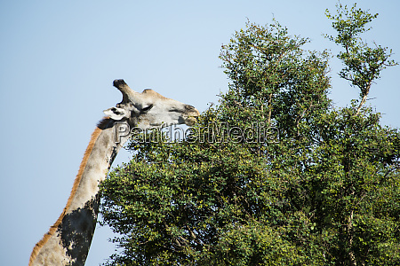 giraffe eating from acacia tree