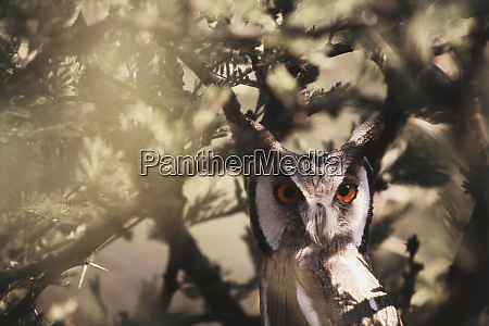 southern africa botswana spotted eagle owl