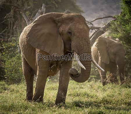 africa kenya african elephants feeding
