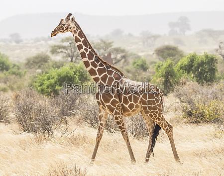 africa kenya samburu national reserve reticulated