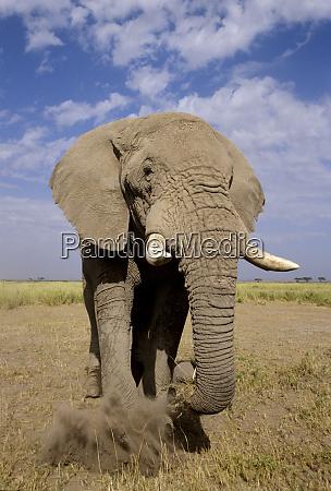 kenya amboseli national park male elephant