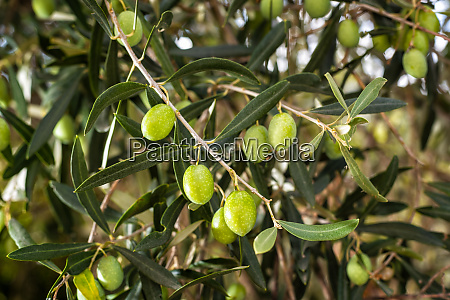 unripe olives on the tree agriculture