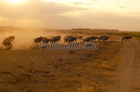 kenya amboseli national park wildebeest running
