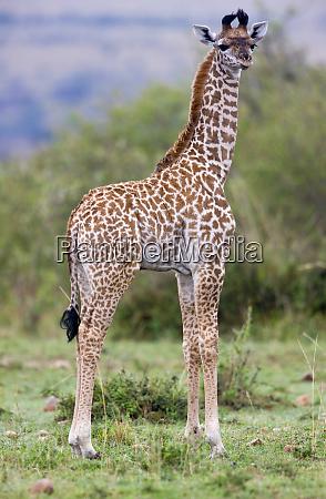 masai giraffe giraffa camelopardalis tippelskirchi masai